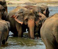 Iz Kandya do slonje sirotišnice v Pinnewali