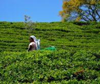 Nuwara Eliya, dežela čajevca
