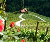 PohorJet in pocukrano srce med vinogradi